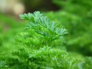 Veggi Palate Herbs Parsley